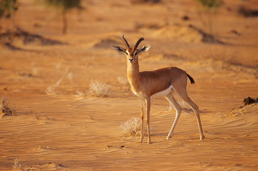 Arabian mountain gazelle Gazella gazella cora
